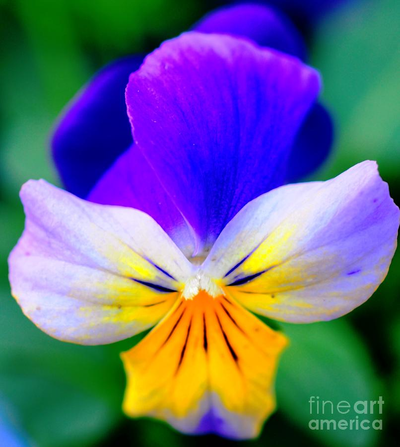 Pansy Photograph - Pansy by Kathleen Struckle
