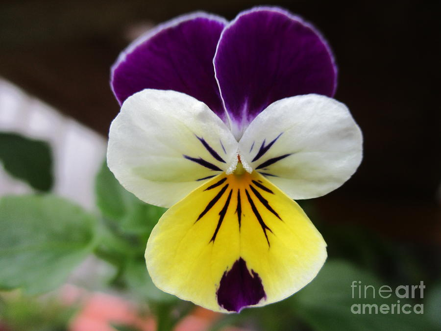Viola Photograph - Pansy White Wings by Sal Collins