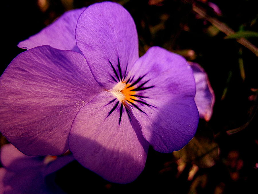 Flower Photograph - Pansy by Yannick Guerin