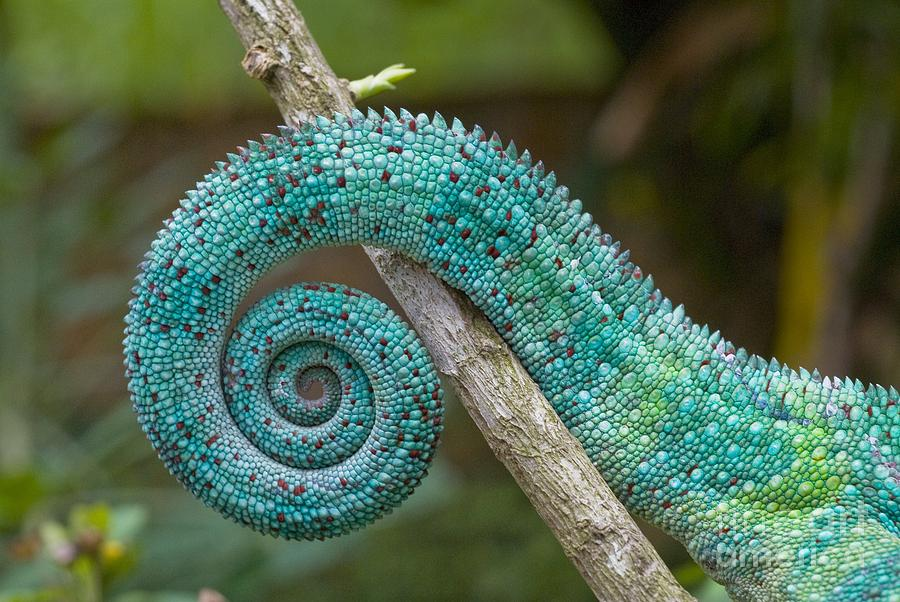 Panther Photograph - Panther Chameleon Tail by Philippe Psaila and Photo Researchers
