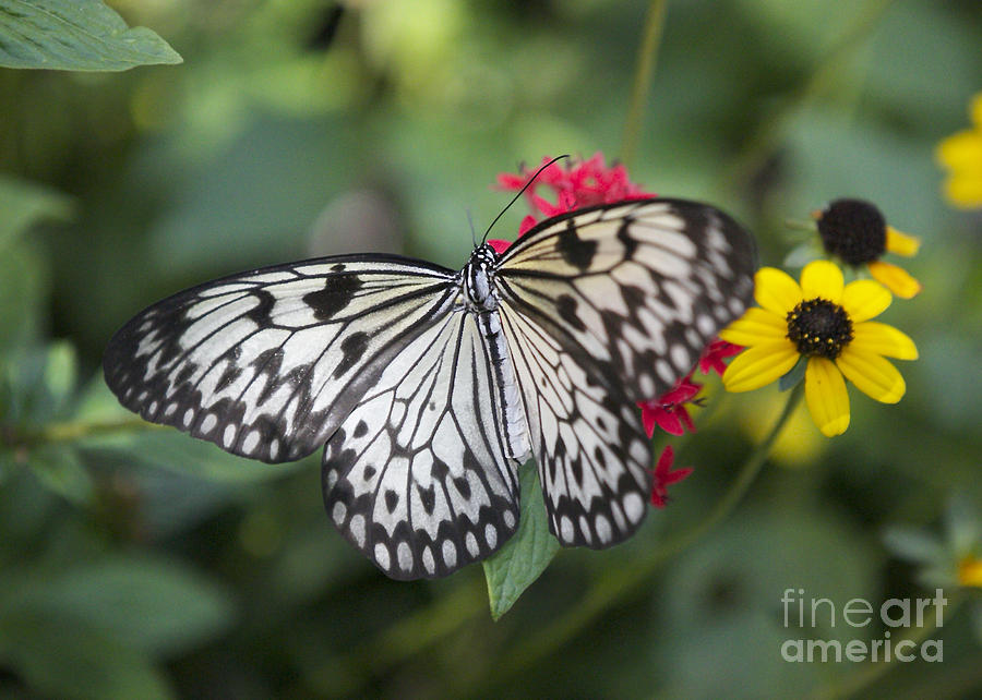 Paper Kite Butterfly Photograph - Paper Kite on Pentas by Carol Groenen