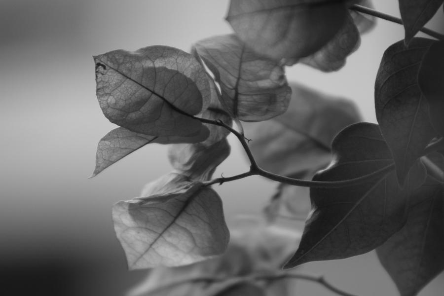 Bougainvillea Photograph - Paper Thin a Black and White Close Up Photograph of a Bougainvillea Bush by Colleen Cornelius