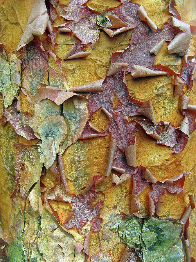 Tree Photograph - Paperbark Maple Tree by Jessica Jenney