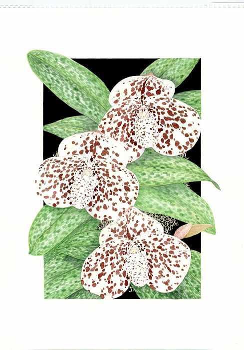 Orchids Painting - Paphiopedilum Bellatulum by Darren James Sturrock