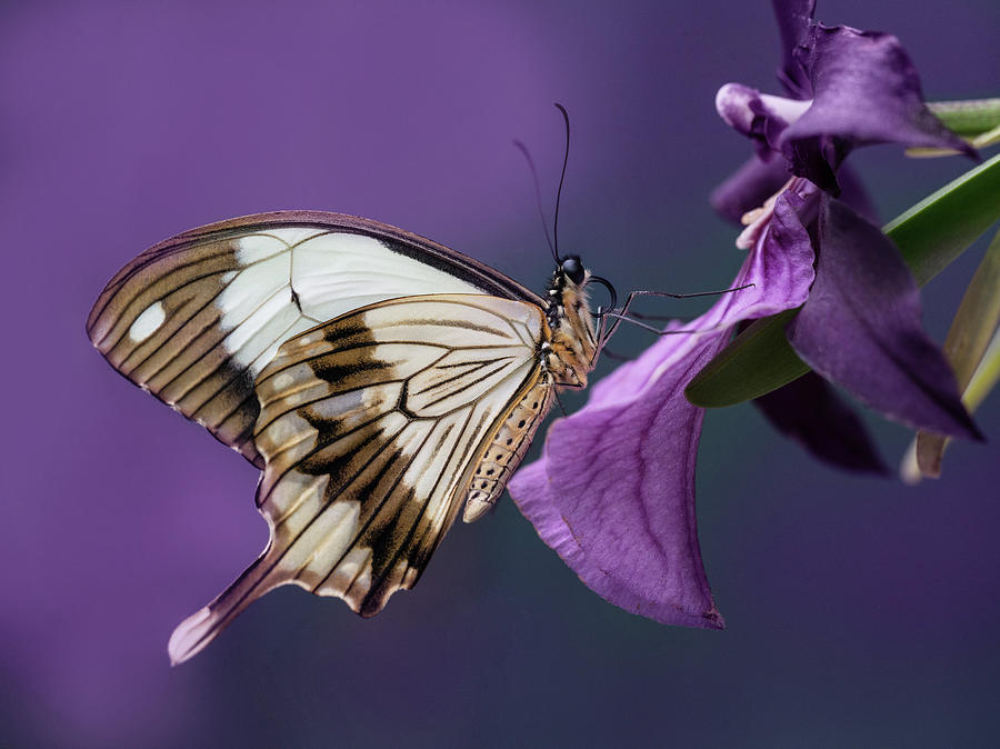 Flowers Photograph - Papilio Dardanus On Violet Flowers by Jaroslaw Blaminsky