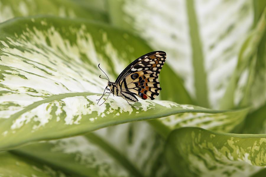 Papilio Photograph - Papilio Demoleus by Goyo Ambrosio