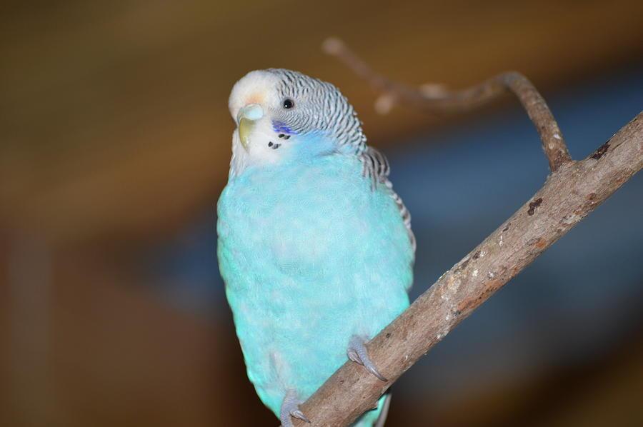 Zoo Photograph - Parakeet by Linda Geiger