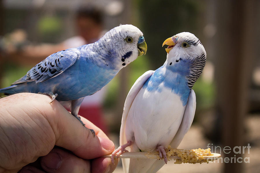 Parakeet Love, Maybe Photograph