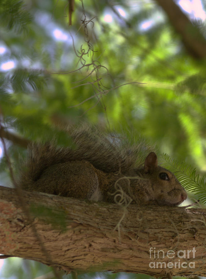 Eastern Gray Squirrel Photograph - Park Ranger by Sean Green