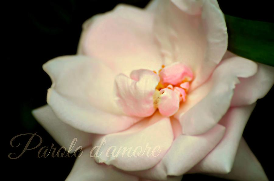 Rose Photograph - Parole Damore by Diana Angstadt