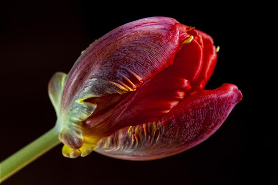 Flower Photograph - Parrot Tulip 11 by Robert Ullmann