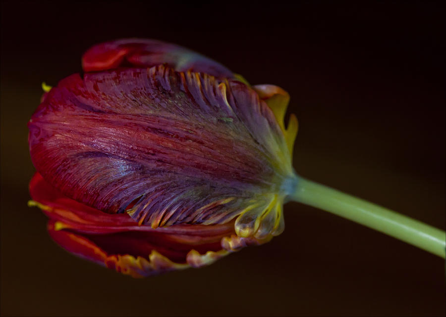Flower Photograph - Parrot Tulip 12 by Robert Ullmann