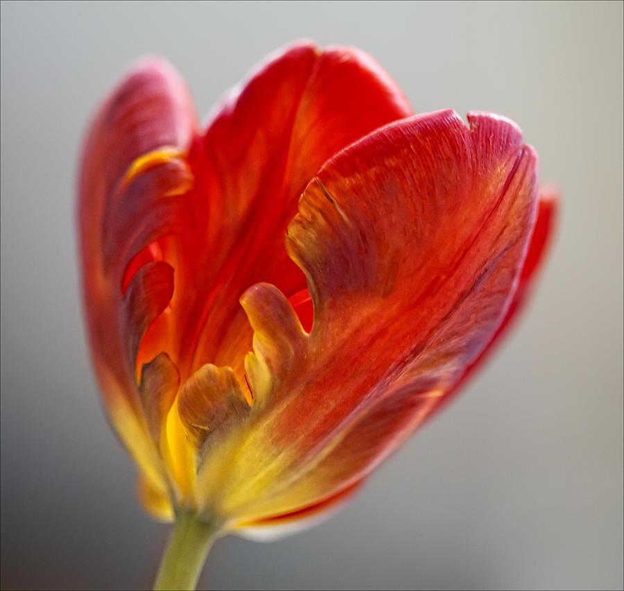 Parrot Tulip 9 Photograph by Robert Ullmann
