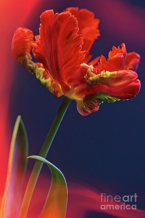 Parrot Tulip - Feathered Petals Photograph