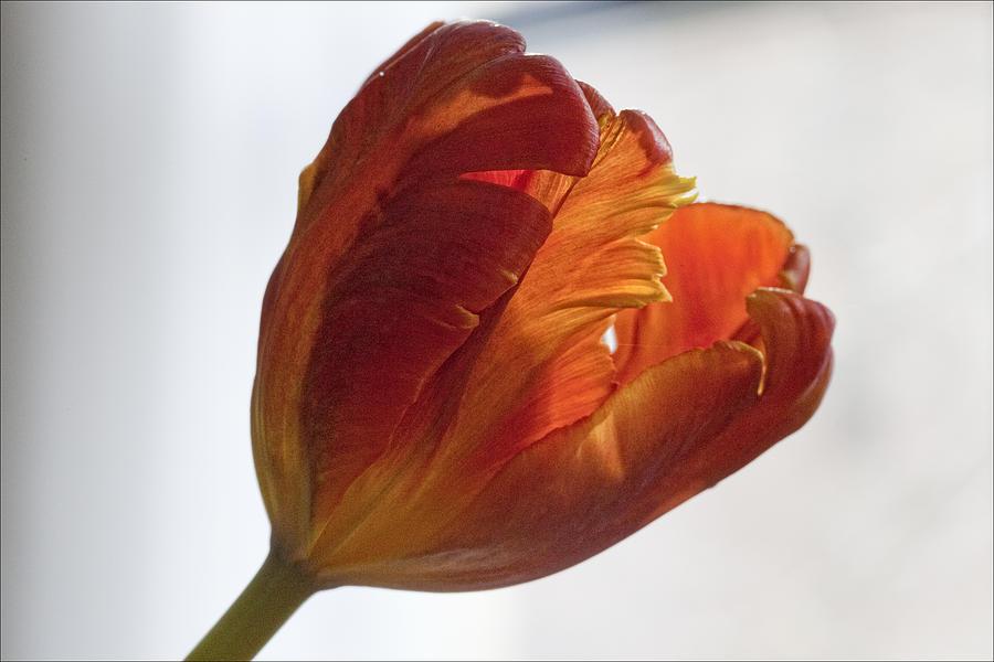 Flower Photograph - Parrot Tulips 19 by Robert Ullmann