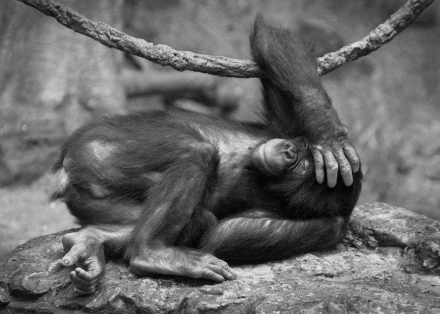 Bonobo Photograph - Party Animal by Bud Hensley