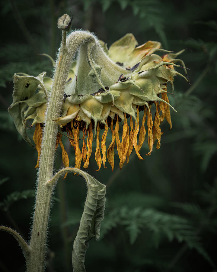 Sunflower Photograph - Partys Over by Brad Bellisle