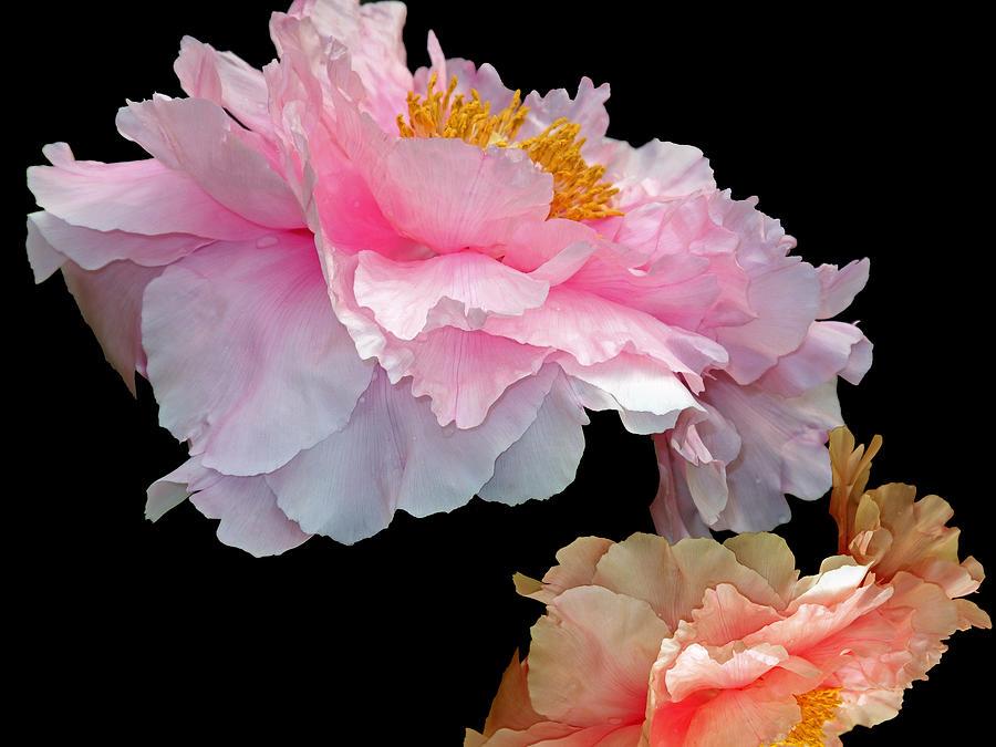Beauty Photograph - Pas De Deux Glowing Peonies by Lynda Lehmann