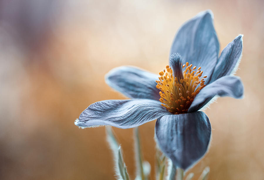 Flower Photograph - Pasque by Mandy Disher