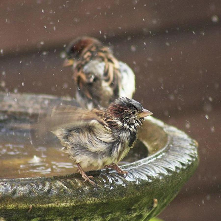 Nature Photograph - Pass The Towel Please: A House Sparrow by John Edwards