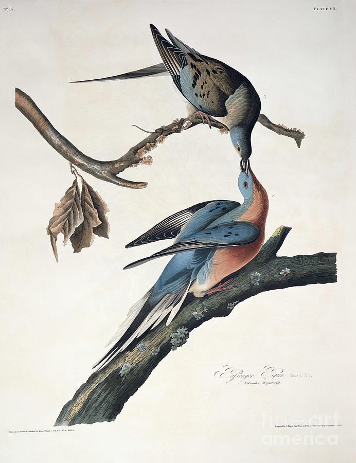 Passenger Pigeon Drawing - Passenger Pigeon by John James Audubon