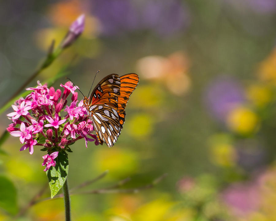 Gulf Photograph - Passion Butterfly  by Julie Andel
