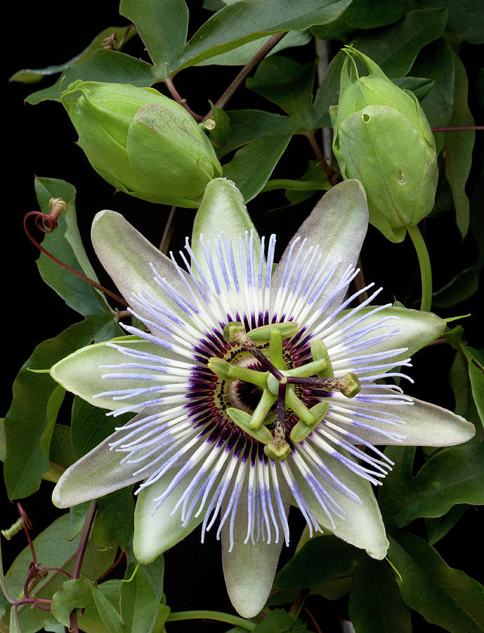 Passion Flower Photograph - Passion Flower 1 by George Sanquist