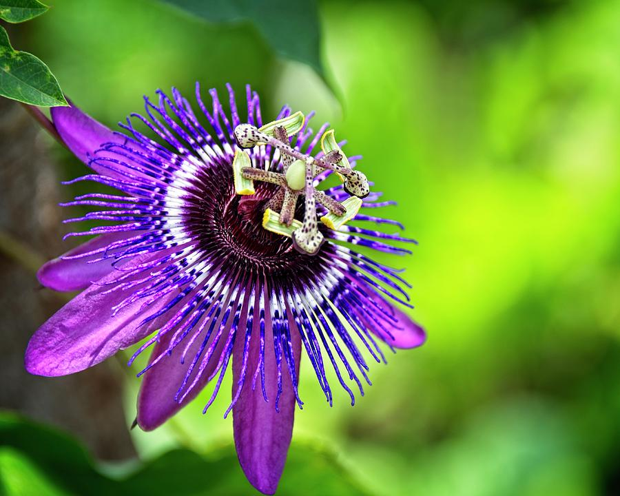 Passion Flower by Carolyn Marshall