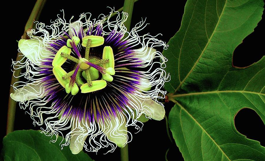 Passion Fruit Flower Photograph - Passion Flower by James Temple