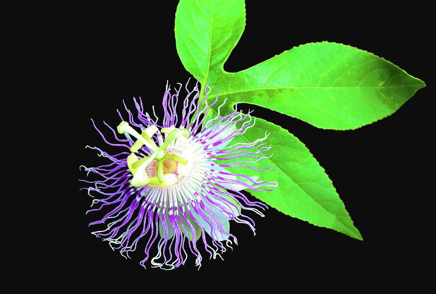 Passion Flower by Kristin Elmquist