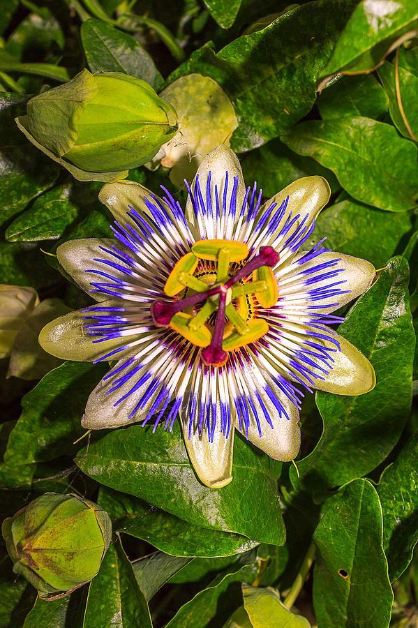 Passion Flower Passiflora Incarnata Photograph By Jose Coelho