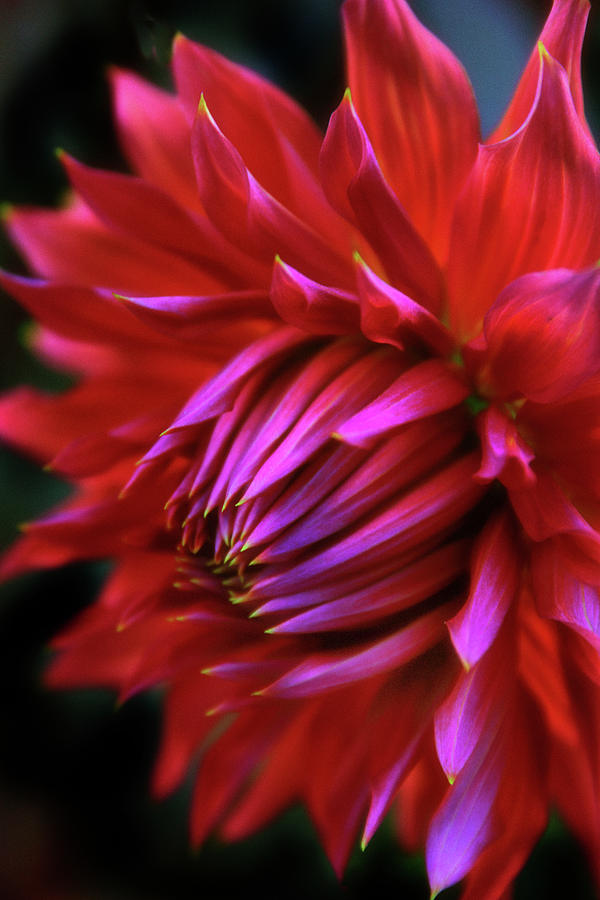 Dahlia Photograph - Passion by Jessica Jenney