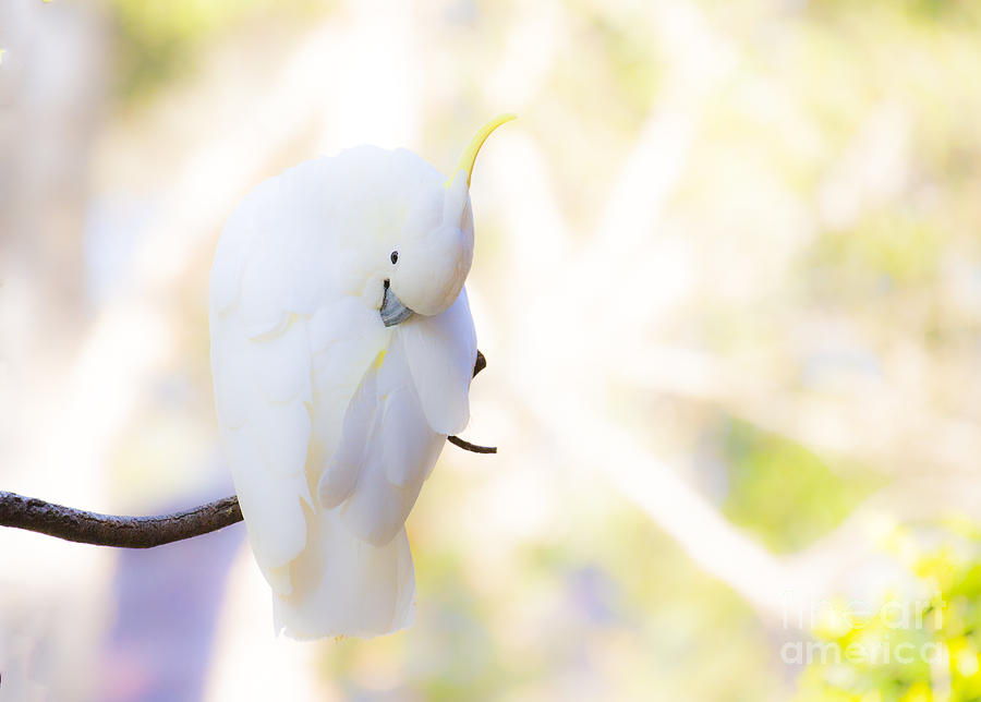 Sulphur Crested Cockatoo Preening Photograph - Pastel Cockatoo by Avalon Fine Art Photography