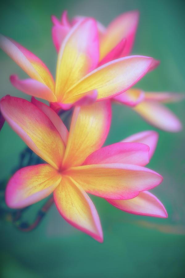 Pastel Plumeria Dream by Jade Moon