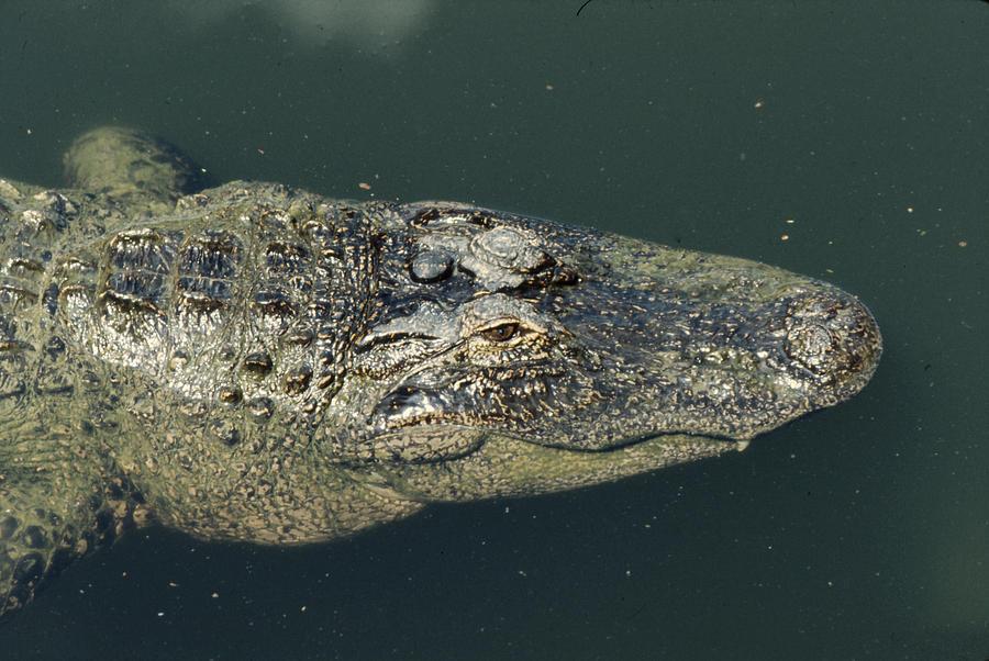 Alligator Photograph - Patience by Frank Mari