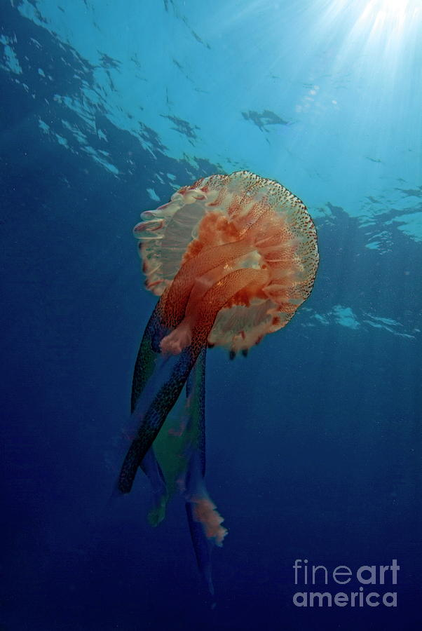 Animal Photograph - Patterned Luminescent Jellyfish by Sami Sarkis