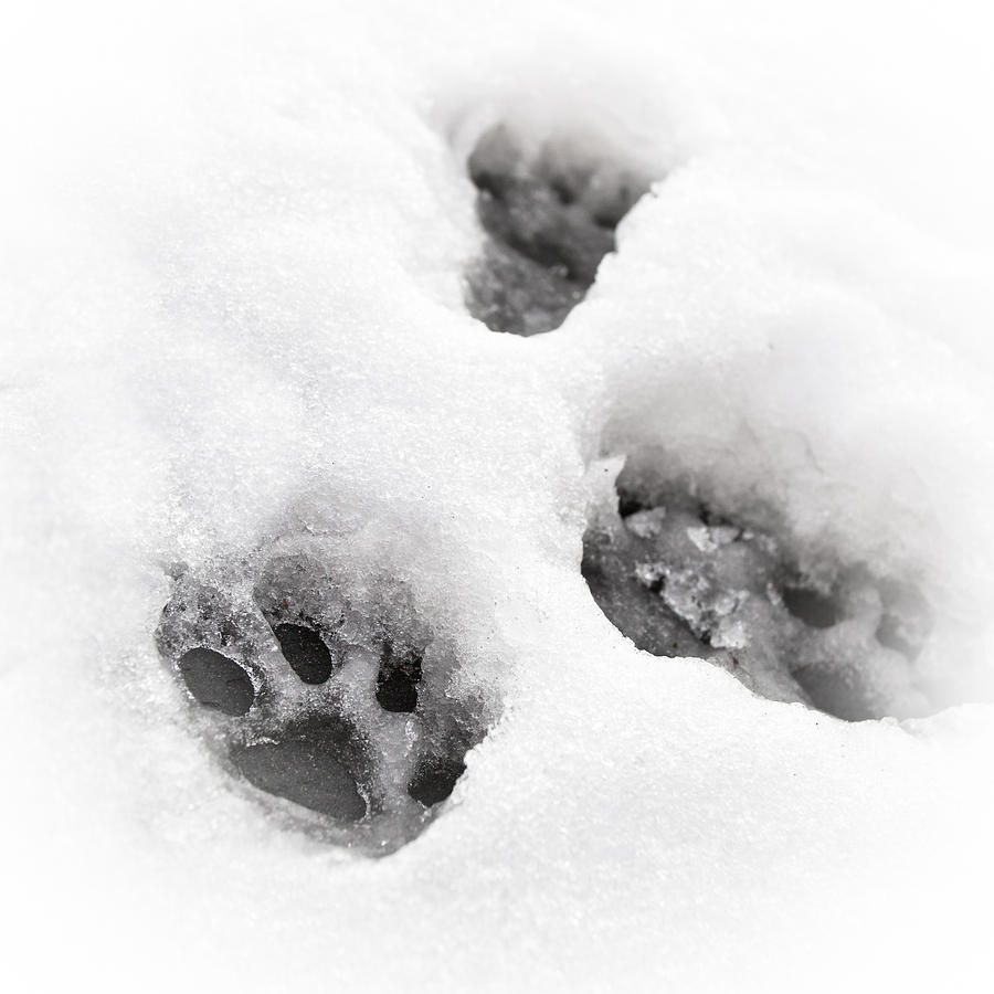 Animal Photograph - Paw Print  by Tom Gowanlock