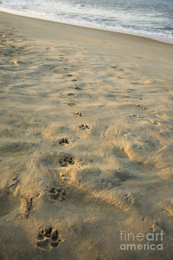 22f78d52d Paw Prints In The Sand Photograph by Roberto Westbrook