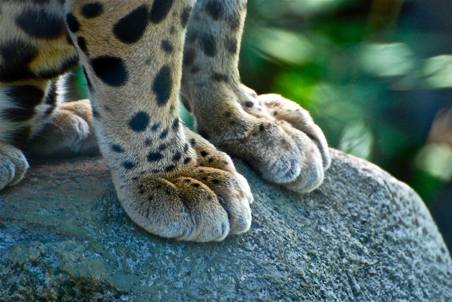 Tiger Photograph - Paws For Effect by Gene Sizemore