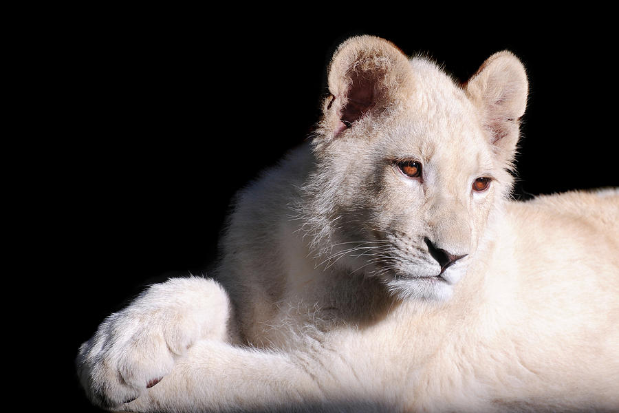 Lion Photograph - Paws by Stephie Butler
