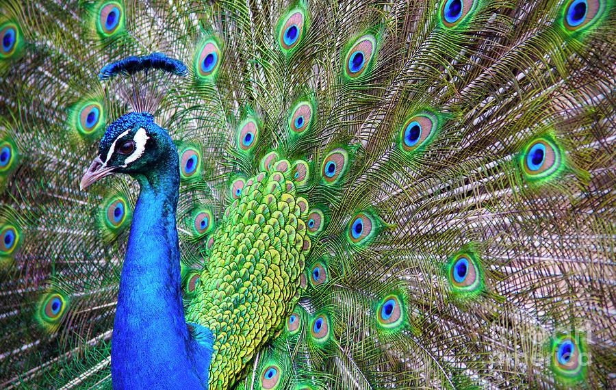 Peacock by Debra Fedchin