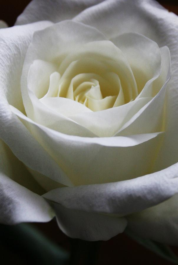 Rose Photograph - Peace by Erika Lesnjak-Wenzel