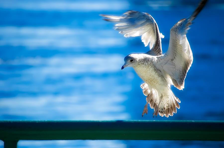 Animal Photograph - Peace Gull by Rich Leighton