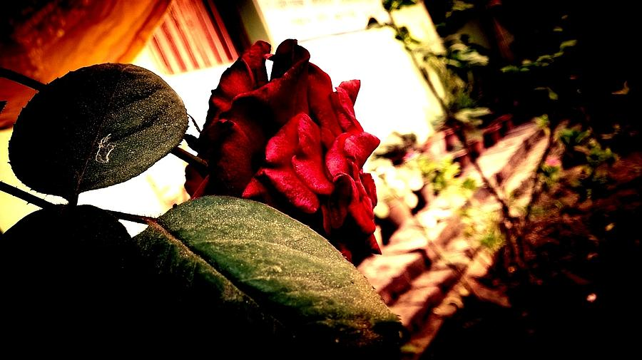 Roses Photograph - Peace Of Death by Shubham Vats