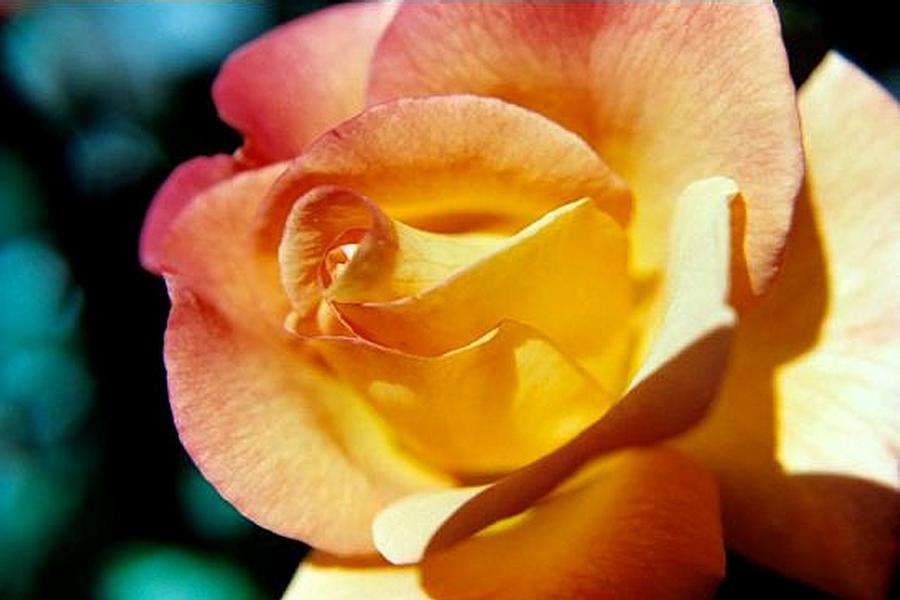 Landscape Photograph - Peace Rose Up Close by Sarah Anderson