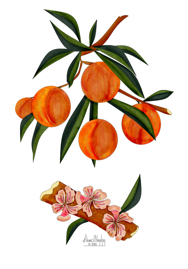Peaches Painting - Peach And Peach Blossoms by Anne Norskog