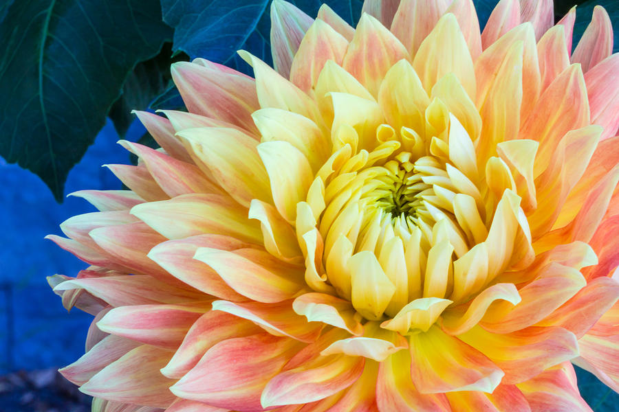 Peach And Yellow Dahlia With Blue Backgropund Photograph