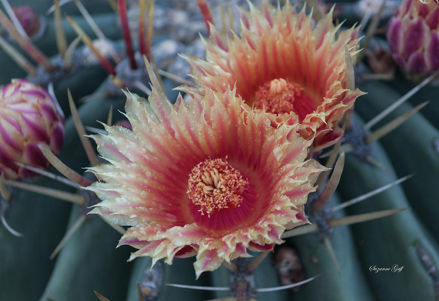 Peach Barrel Cactus Flowers by Suzanne Gaff