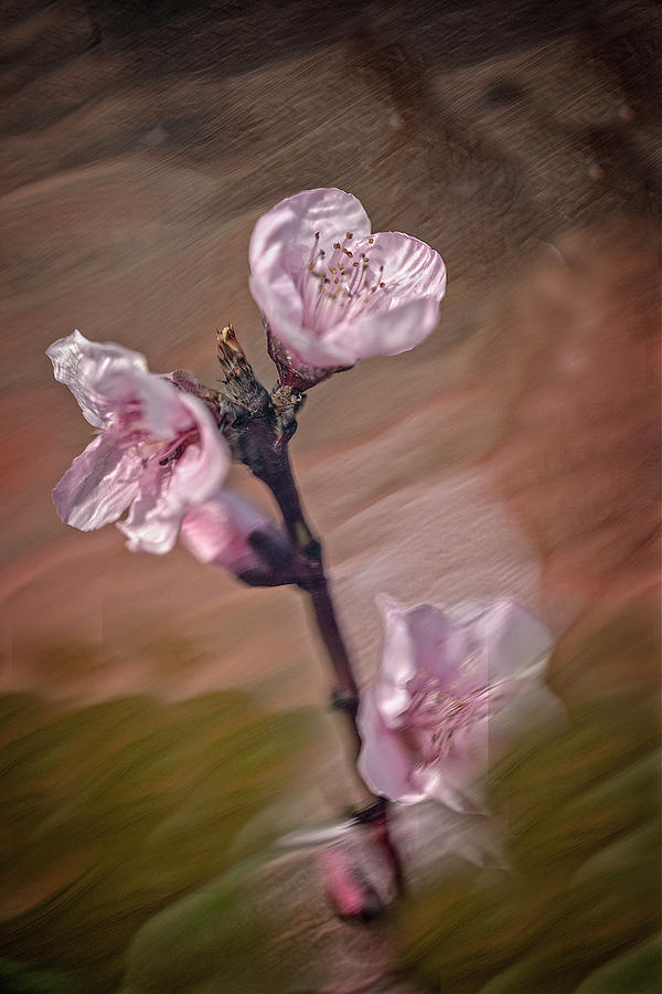 Peach Blossom by David Waldrop