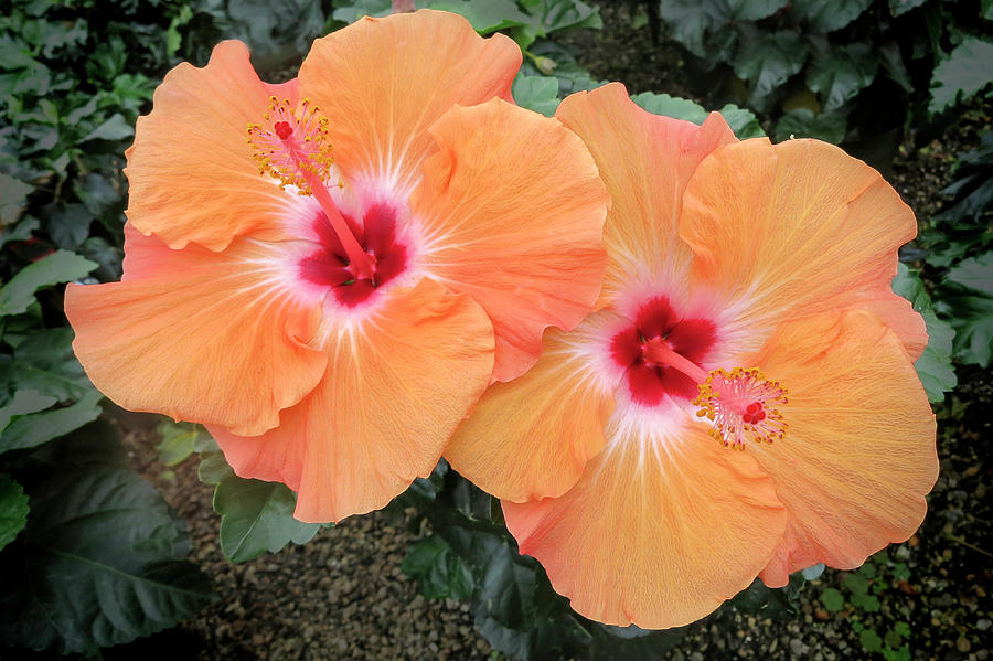 Peach Hibiscus Photograph By Phyllis Taylor